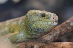 Solomon Island grip--tailed skink Royaltyfria Foton