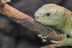 Solomon Island grip--tailed skink 13 Royaltyfri Bild