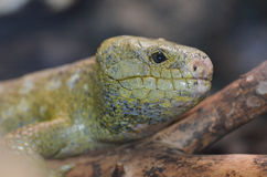 Solomon island prehensile-tailed skink Royalty Free Stock Photos