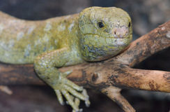 Solomon island prehensile-tailed skink 8 Royalty Free Stock Photography