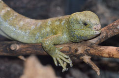 Solomon island prehensile-tailed skink 9 Royalty Free Stock Photography
