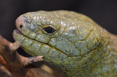 Solomon island prehensile-tailed skink 4 Stock Images