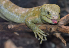 Solomon island prehensile-tailed skink 12 Royalty Free Stock Photography