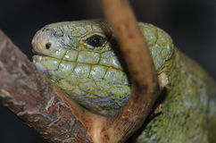 Solomon island prehensile-tailed skink 7 Royalty Free Stock Photography