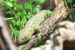 Solomon Island skink. On the trunk Royalty Free Stock Images