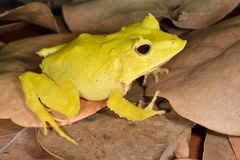Solomon Isle Leaf Frog imagem de stock royalty free