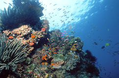 Solomon Reef. Various crinoids and anthias decorate this shallow reef in the Solomon Islands stock images