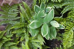 Solomon's Seal Amidst the Ferns Royalty Free Stock Image