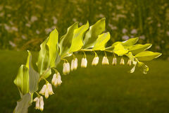 Solomon's seal arched flowers Stock Photography