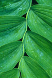 Solomon's Seal Close-Up. Tight photo of a branch of Solomon's Seal Royalty Free Stock Photo