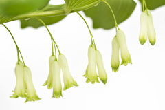 Solomon's Seal Detail Royalty Free Stock Photography