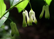 Solomon's Seal flowers in spring Stock Image