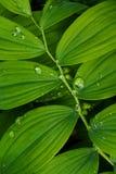 Solomon's seal leaf detail Stock Photo