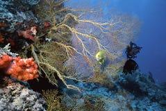 Solomon Sea Fan. Bright yellow sea fan, Gorgonia ventalina on a Solomon Island dive site Stock Images
