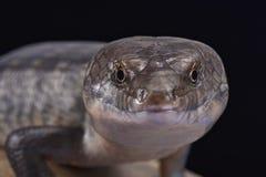 Solomon wyspy Zmielony skink (Eugongylus albofasciatus) Obrazy Stock