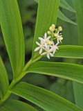 Solomons Seal. Photograph of the white blooms of a Solomon Seal plant in spring royalty free stock images