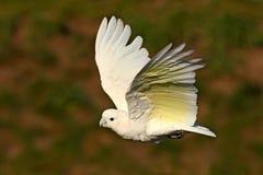 Solomonskaketoe, Cacatua-ducorpsii, vliegende witte exotische papegaai, vogel in de aardhabitat, actiescène van wildernis, Austra royalty-vrije stock foto's