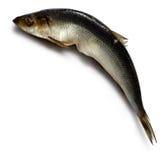 solone herring Zdjęcie Stock
