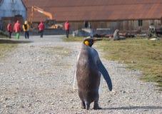 Solos pingüino de rey y turista de la travesía en Grytviken, Georgia del sur Foto de archivo