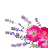 Solos rosas y ramo rosados de la lavanda en el fondo borroso Foto de archivo libre de regalías