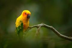 Solparakiter-, Aratinga solstitialis, sällsynt papegoja från Brasilien och Franska Guyana Papegoja för gul gräsplan för stående m Arkivfoto