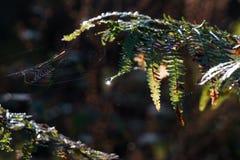 solreflexion på en waterdrop som hänger från en ormbunke i kombination med en spindelrengöringsduk royaltyfria foton