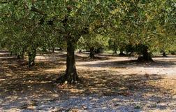 Solrollbesättningskuggor till och med Olive Trees Royaltyfri Foto