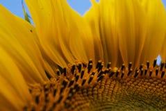 solros Fotografering för Bildbyråer