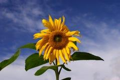solros Arkivbild