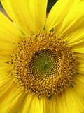 solros arkivfoton