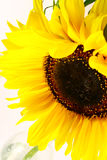 solros Arkivbilder