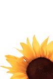 solros royaltyfri bild