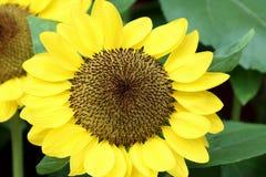 1 solros Fotografering för Bildbyråer