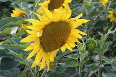 Solros - en blomma som är liknande till solen Arkivbild