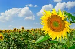 Solros, fält och himmel Fotografering för Bildbyråer