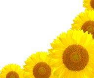 solros för bakgrundsnatursommar Royaltyfri Fotografi