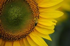 solros för binatursommar arkivbilder