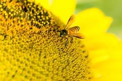 solros för binatursommar Arkivfoton