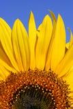 solros för blå sky Arkivbild