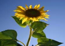 solros för blå sky royaltyfri foto