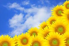 solros för blå sky arkivbilder