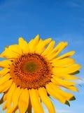 solros för blå sky Fotografering för Bildbyråer