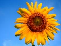 solros för blå sky arkivfoton