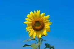 solros för blå sky Royaltyfria Bilder