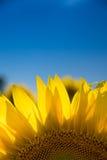 solros för blå sky Royaltyfria Foton