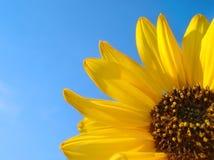 solros för blå sky för bakgrund Royaltyfri Fotografi