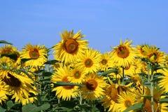 solros för fält iii Royaltyfri Fotografi