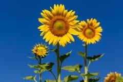 Solros för full blom med blå himmel Arkivbilder