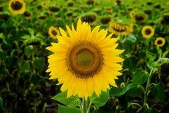 Solros för solrosfältlandskap, tillväxt, fält, landskap, jordbruk, bakgrund som är härlig, skönhet, blått, frikänd Royaltyfria Foton