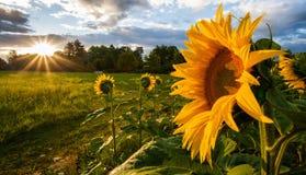 solros för sun för stigning ii Fotografering för Bildbyråer